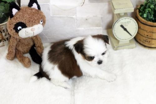 シーズーの子犬(ID:1255411258)の4枚目の写真/更新日:2021-03-06