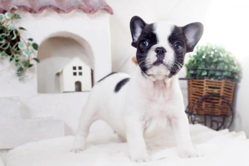 フレンチブルドッグの子犬(ID:1255411259)の1枚目の写真/更新日:2018-12-03