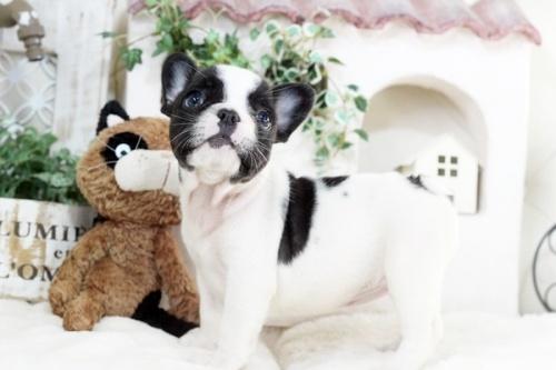 フレンチブルドッグの子犬(ID:1255411259)の2枚目の写真/更新日:2018-12-03