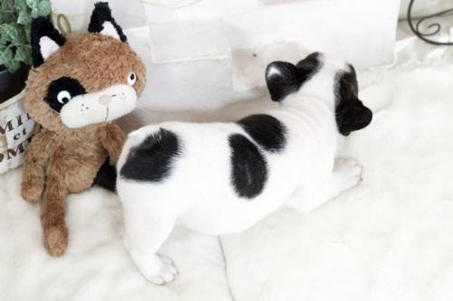 フレンチブルドッグの子犬(ID:1255411259)の3枚目の写真/更新日:2018-12-03
