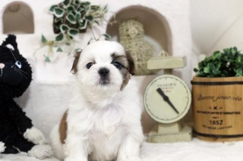 シーズーの子犬(ID:1255411262)の1枚目の写真/更新日:2019-01-11