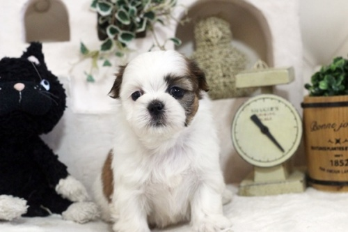 シーズーの子犬(ID:1255411262)の2枚目の写真/更新日:2019-01-11