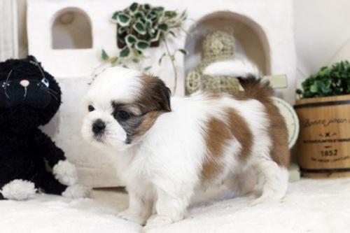 シーズーの子犬(ID:1255411262)の3枚目の写真/更新日:2019-01-11