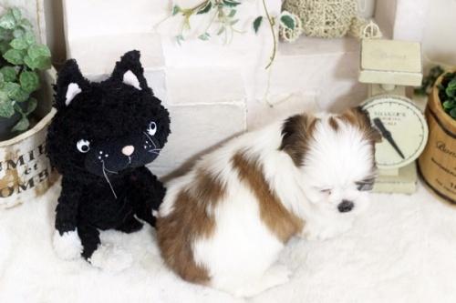 シーズーの子犬(ID:1255411262)の4枚目の写真/更新日:2021-03-06