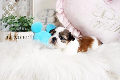 シーズーの子犬(ID:1255411263)の3枚目の写真/更新日:2019-01-11