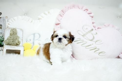 シーズーの子犬(ID:1255411264)の3枚目の写真/更新日:2019-01-11