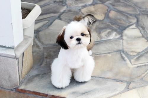 シーズーの子犬(ID:1255411269)の1枚目の写真/更新日:2019-01-11