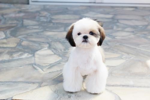シーズーの子犬(ID:1255411269)の2枚目の写真/更新日:2019-01-11