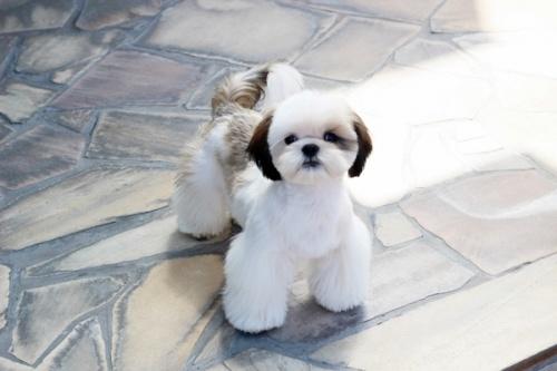 シーズーの子犬(ID:1255411269)の3枚目の写真/更新日:2019-01-11