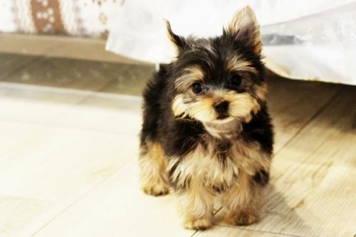 ヨークシャーテリアの子犬(ID:1255411270)の1枚目の写真/更新日:2021-04-02