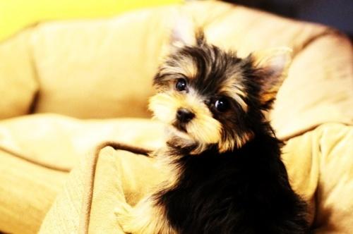 ヨークシャーテリアの子犬(ID:1255411270)の3枚目の写真/更新日:2021-04-02
