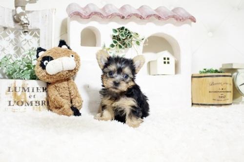 ヨークシャーテリアの子犬(ID:1255411271)の1枚目の写真/更新日:2021-08-16