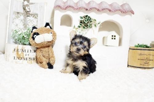 ヨークシャーテリアの子犬(ID:1255411271)の2枚目の写真/更新日:2021-08-16