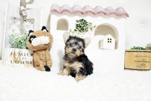 ヨークシャーテリアの子犬(ID:1255411271)の3枚目の写真/更新日:2021-08-16