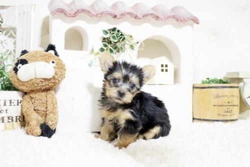 ヨークシャーテリアの子犬(ID:1255411271)の4枚目の写真/更新日:2021-08-16