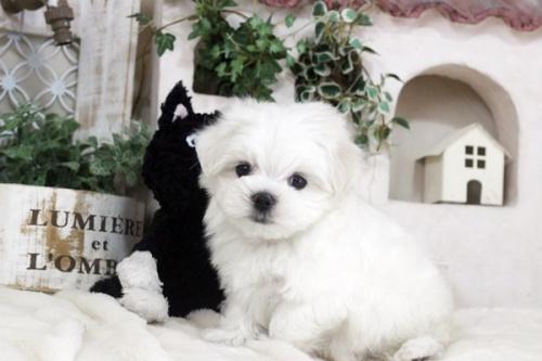 マルチーズの子犬(ID:1255411273)の2枚目の写真/更新日:2018-12-07