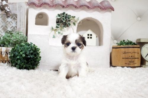 シーズーの子犬(ID:1255411278)の1枚目の写真/更新日:2021-07-22