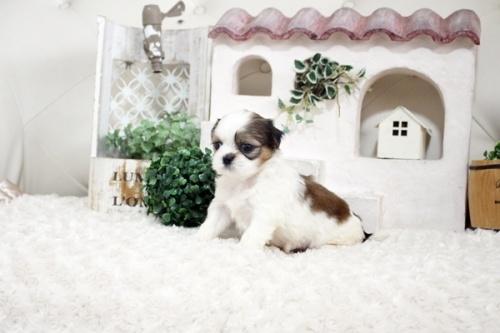 シーズーの子犬(ID:1255411278)の2枚目の写真/更新日:2021-07-22