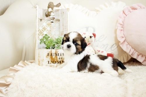 シーズーの子犬(ID:1255411279)の2枚目の写真/更新日:2019-02-08