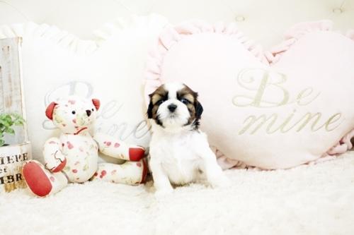 シーズーの子犬(ID:1255411279)の3枚目の写真/更新日:2019-02-08
