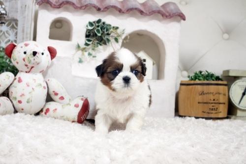 シーズーの子犬(ID:1255411280)の1枚目の写真/更新日:2021-07-22