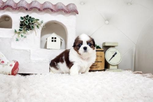 シーズーの子犬(ID:1255411280)の2枚目の写真/更新日:2019-09-03