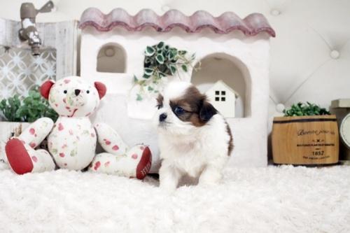 シーズーの子犬(ID:1255411280)の3枚目の写真/更新日:2021-07-22