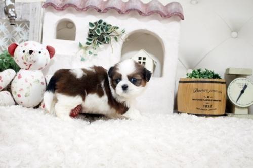 シーズーの子犬(ID:1255411280)の4枚目の写真/更新日:2021-07-22