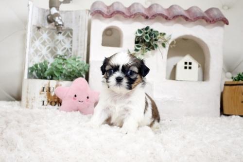 シーズーの子犬(ID:1255411281)の1枚目の写真/更新日:2019-09-03