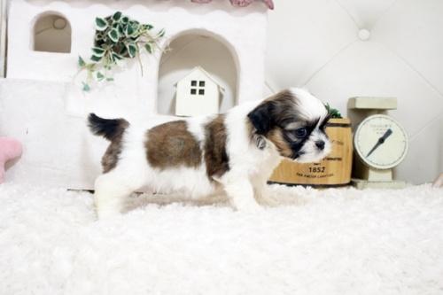 シーズーの子犬(ID:1255411281)の2枚目の写真/更新日:2021-07-22