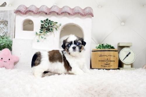 シーズーの子犬(ID:1255411281)の3枚目の写真/更新日:2019-09-03