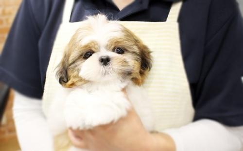 シーズーの子犬(ID:1255411282)の2枚目の写真/更新日:2019-09-03