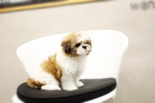 シーズーの子犬(ID:1255411282)の3枚目の写真/更新日:2019-09-03