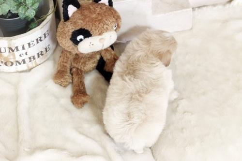 ミックスの子犬(ID:1255411284)の4枚目の写真/更新日:2018-05-23