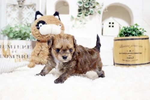 ミックスの子犬(ID:1255411285)の2枚目の写真/更新日:2018-05-23