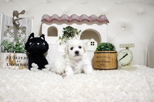 ビションフリーゼの子犬(ID:1255411302)の1枚目の写真/更新日:2021-08-16