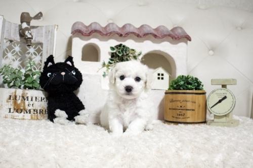 ビションフリーゼの子犬(ID:1255411302)の2枚目の写真/更新日:2021-08-16