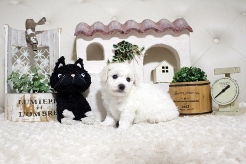 ビションフリーゼの子犬(ID:1255411302)の3枚目の写真/更新日:2021-08-16