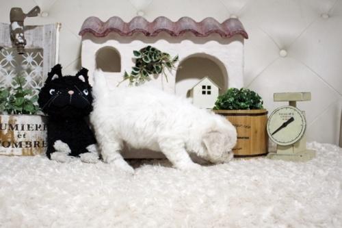 ビションフリーゼの子犬(ID:1255411302)の4枚目の写真/更新日:2021-08-16
