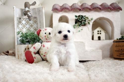 ビションフリーゼの子犬(ID:1255411303)の1枚目の写真/更新日:2019-02-18