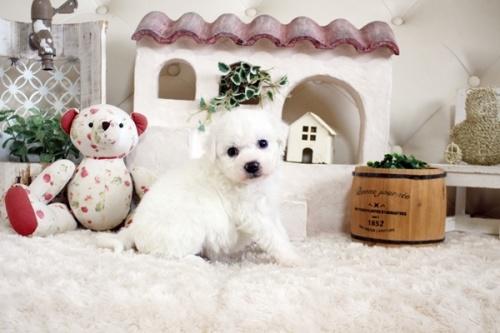 ビションフリーゼの子犬(ID:1255411303)の2枚目の写真/更新日:2019-02-18