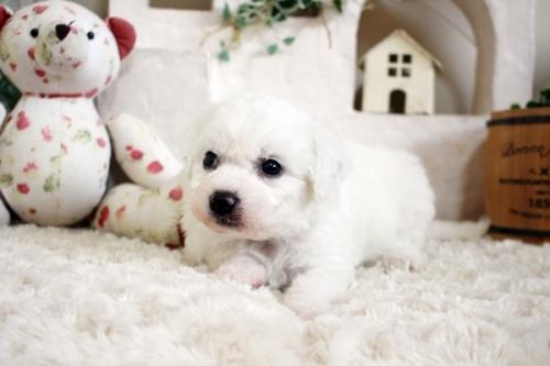 ビションフリーゼの子犬(ID:1255411303)の3枚目の写真/更新日:2019-02-18