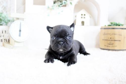 フレンチブルドッグの子犬(ID:1255411305)の1枚目の写真/更新日:2018-12-17