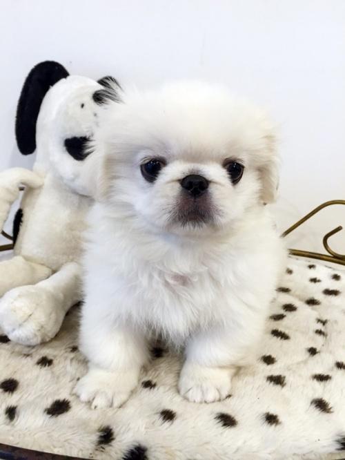 ペキニーズの子犬(ID:1255411309)の2枚目の写真/更新日:2018-06-12