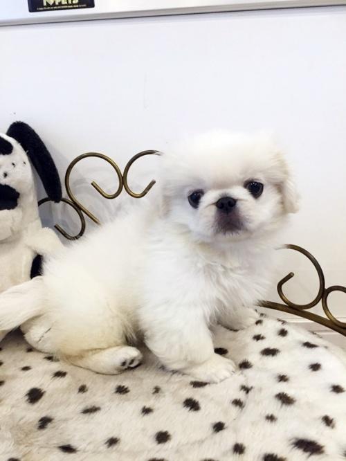 ペキニーズの子犬(ID:1255411309)の3枚目の写真/更新日:2018-06-12