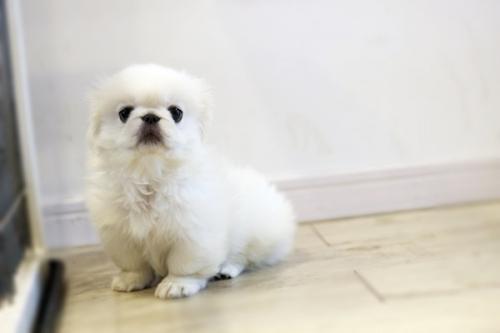 ペキニーズの子犬(ID:1255411309)の4枚目の写真/更新日:2018-06-12