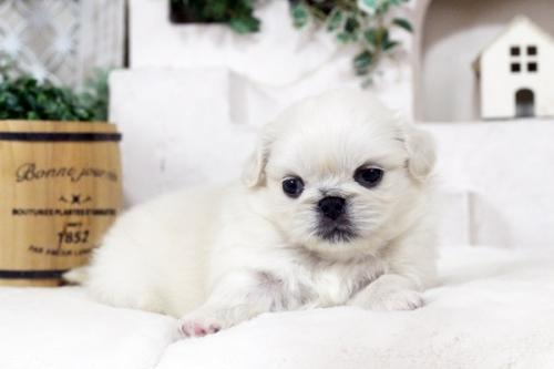 ペキニーズの子犬(ID:1255411310)の1枚目の写真/更新日:2018-11-28