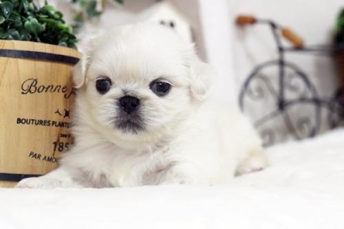 ペキニーズの子犬(ID:1255411310)の2枚目の写真/更新日:2018-11-28