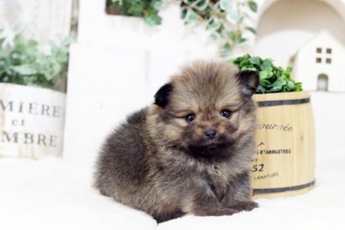ポメラニアンの子犬(ID:1255411311)の1枚目の写真/更新日:2018-12-03