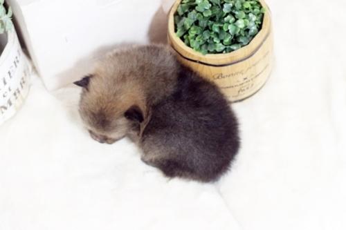 ポメラニアンの子犬(ID:1255411311)の2枚目の写真/更新日:2018-12-03